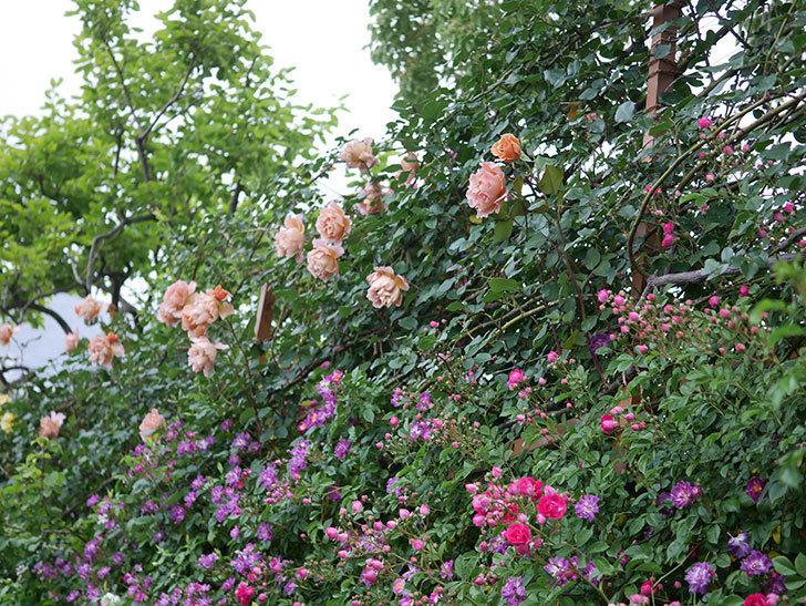 ブルーランブラー(ツルバラ)の花が増えてきた。2020年-010.jpg