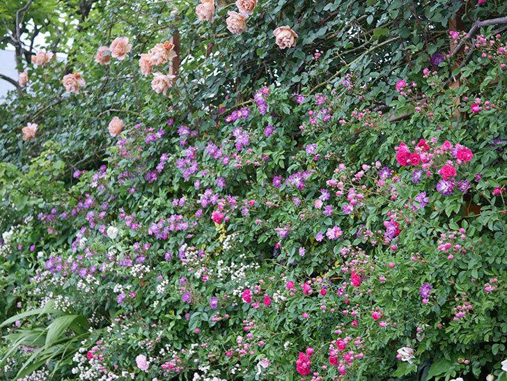 ブルーランブラー(ツルバラ)の花が増えてきた。2020年-011.jpg