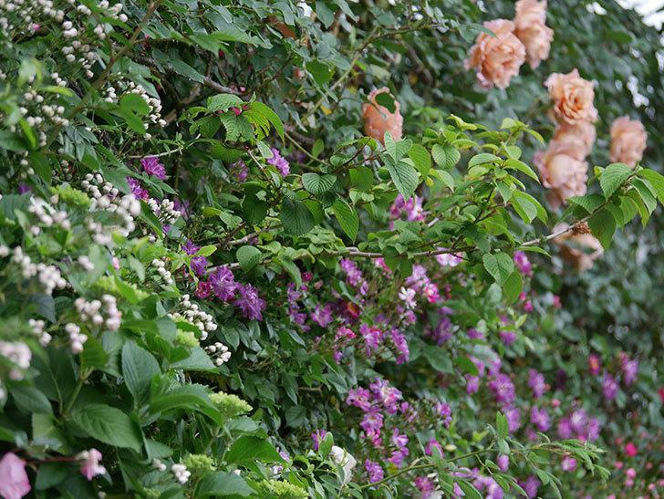 ブルーランブラー(ツルバラ)の花が増えてきた。2020年-013.jpg