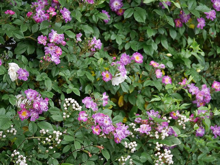 ブルーランブラー(ツルバラ)の花が増えてきた。2020年-014.jpg