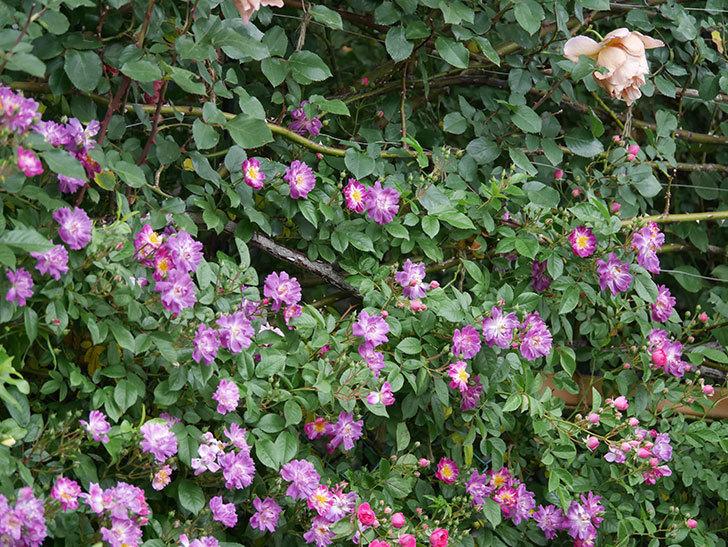 ブルーランブラー(ツルバラ)の花が増えてきた。2020年-015.jpg
