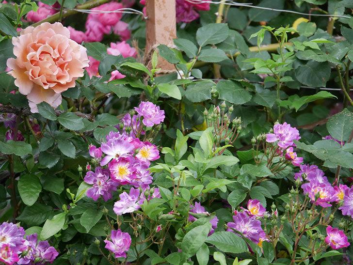 ブルーランブラー(ツルバラ)の花が増えてきた。2020年-016.jpg