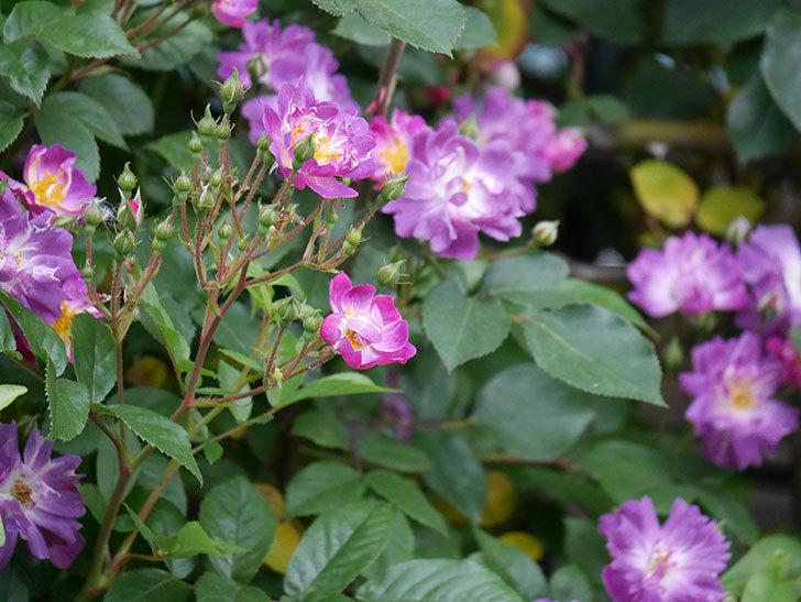 ブルーランブラー(ツルバラ)の花が増えてきた。2020年-017.jpg