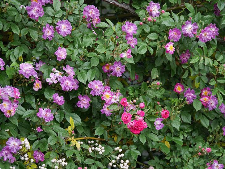 ブルーランブラー(ツルバラ)の花が増えてきた。2020年-018.jpg