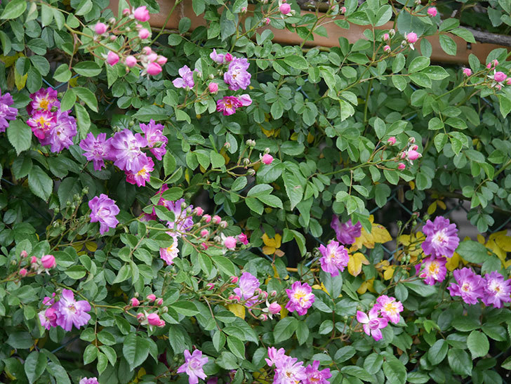 ブルーランブラー(ツルバラ)の花が増えてきた。2020年-019.jpg