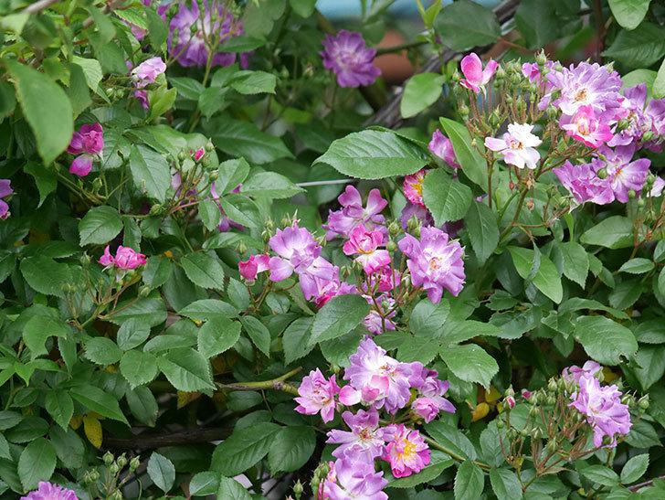 ブルーランブラー(ツルバラ)の花が増えてきた。2020年-020.jpg