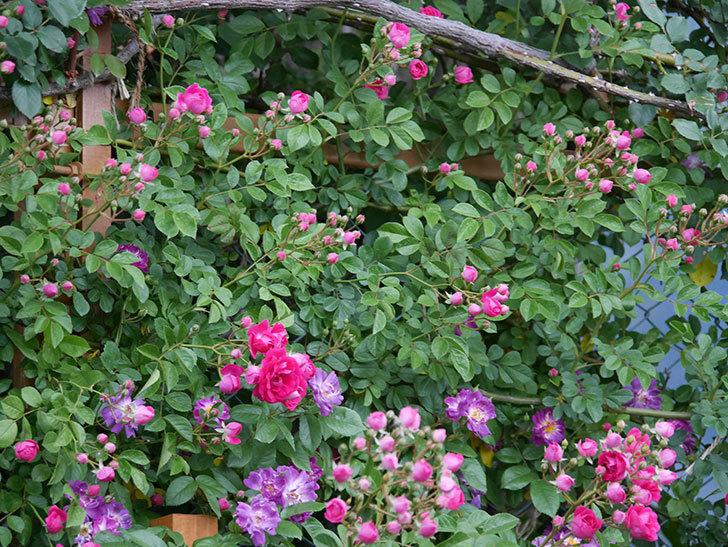 ブルーランブラー(ツルバラ)の花が増えてきた。2020年-021.jpg