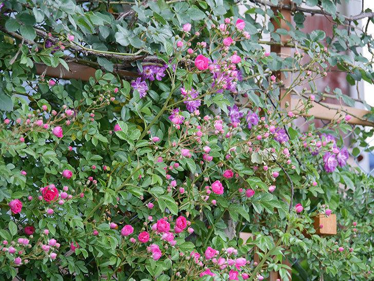 ブルーランブラー(ツルバラ)の花が増えてきた。2020年-022.jpg