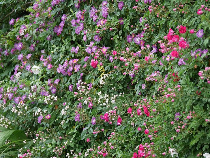 ブルーランブラー(ツルバラ)の花が増えてきた。2020年-023.jpg