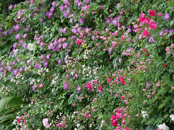 ブルーランブラー(ツルバラ)の花が増えてきた。2020年-024.jpg