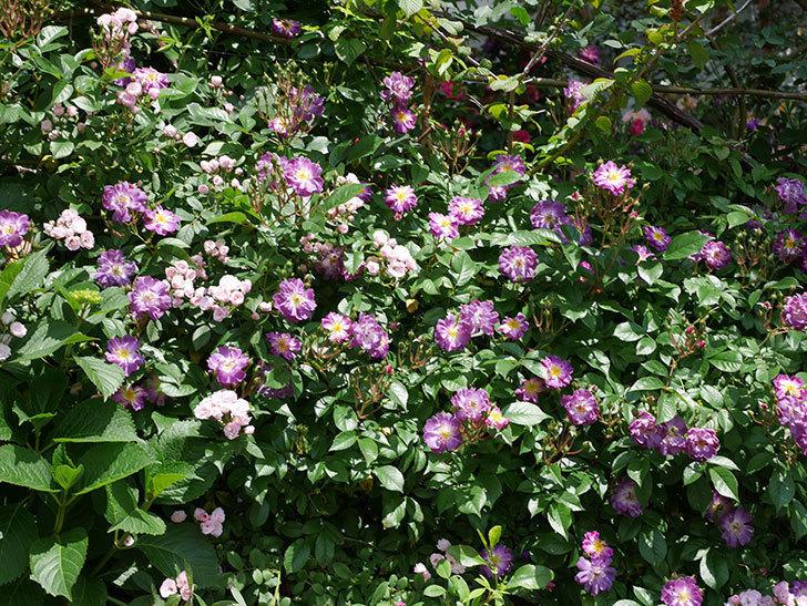ブルーランブラー(ツルバラ)の花が増えて来た。2019年-1.jpg
