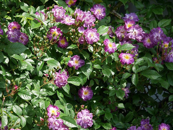 ブルーランブラー(ツルバラ)の花が増えて来た。2019年-10.jpg