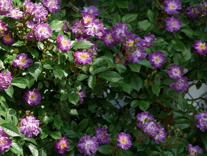 ブルーランブラー(ツルバラ)の花が増えて来た。2019年-11.jpg