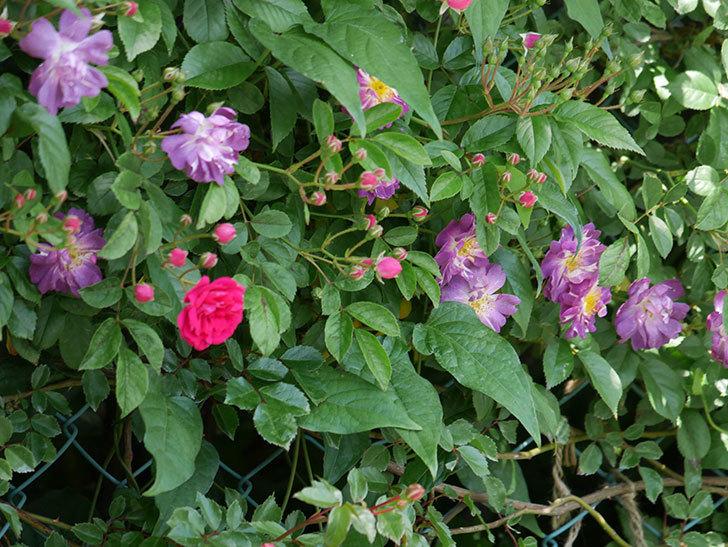 ブルーランブラー(ツルバラ)の花が増えて来た。2019年-12.jpg