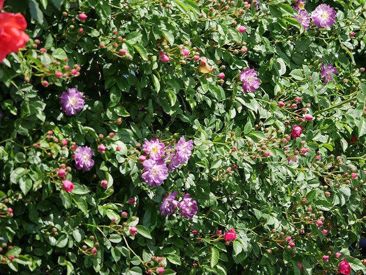 ブルーランブラー(ツルバラ)の花が増えて来た。2019年-13.jpg