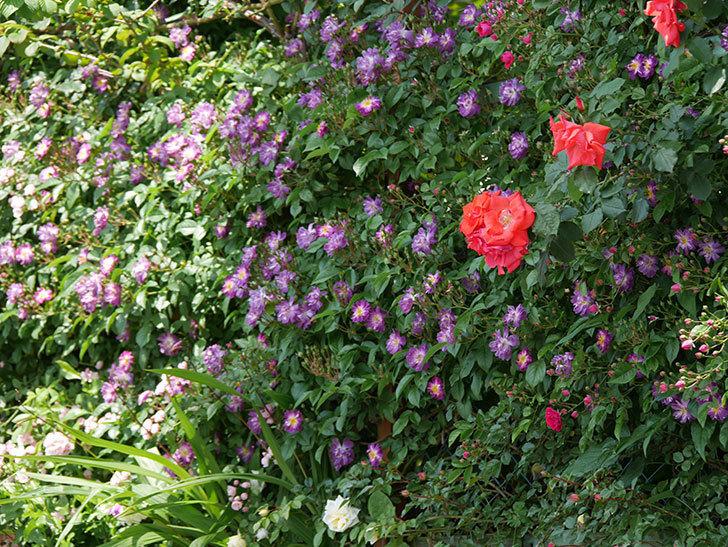 ブルーランブラー(ツルバラ)の花が増えて来た。2019年-15.jpg