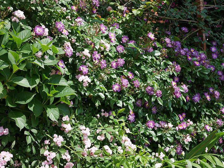 ブルーランブラー(ツルバラ)の花が増えて来た。2019年-2.jpg