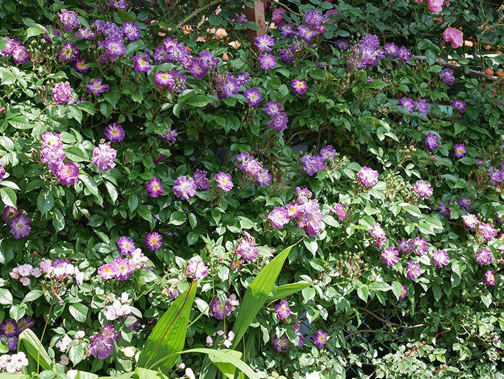 ブルーランブラー(ツルバラ)の花が増えて来た。2019年-3.jpg