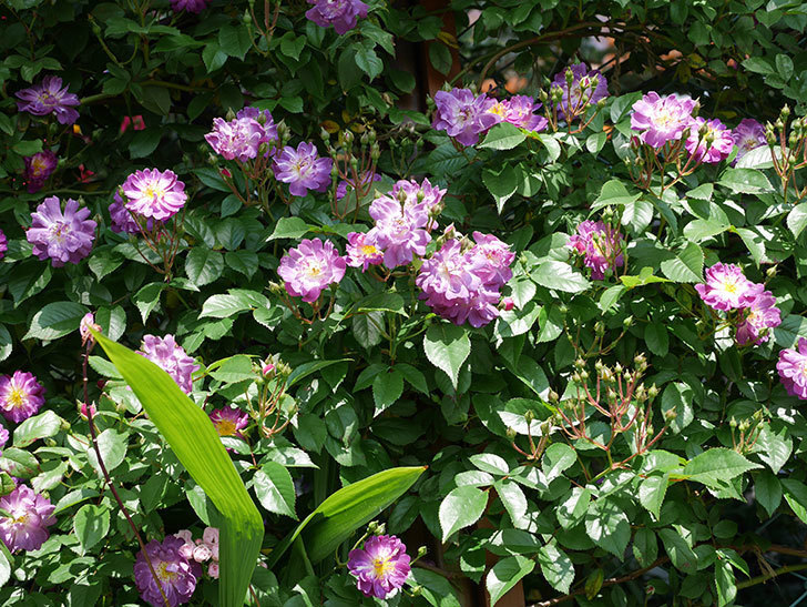 ブルーランブラー(ツルバラ)の花が増えて来た。2019年-4.jpg