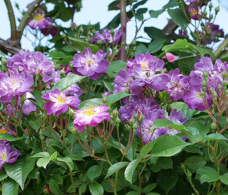 ブルーランブラー(ツルバラ)の花が増えて来た。2019年-5.jpg
