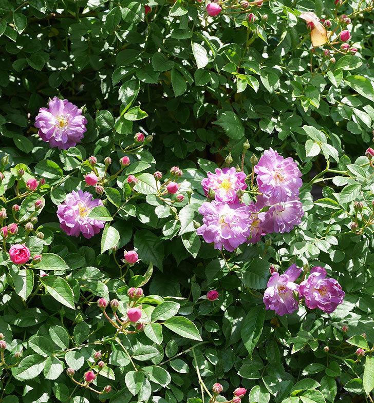 ブルーランブラー(ツルバラ)の花が増えて来た。2019年-6.jpg