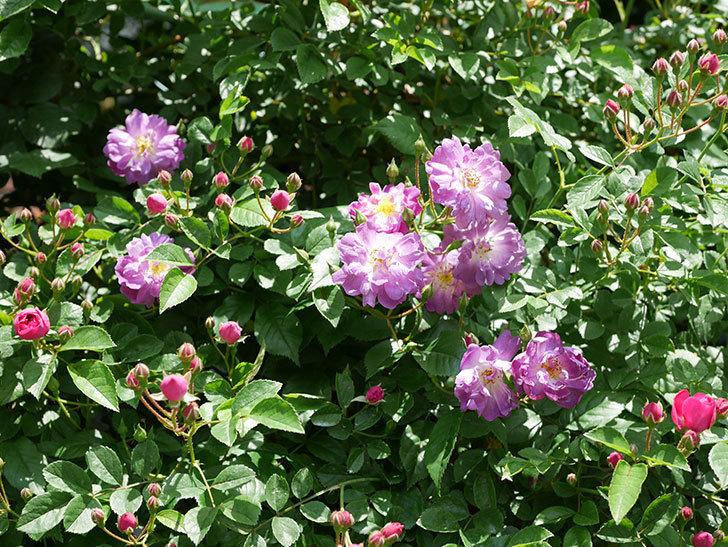 ブルーランブラー(ツルバラ)の花が増えて来た。2019年-7.jpg