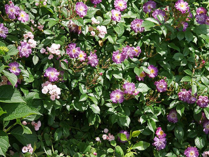 ブルーランブラー(ツルバラ)の花が増えて来た。2019年-8.jpg
