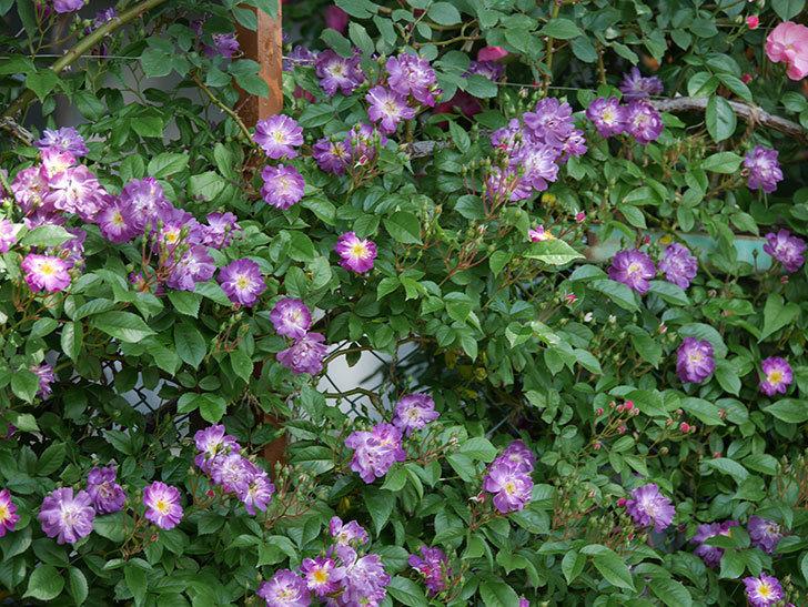 ブルーランブラー(ツルバラ)の花が増えて来た。2019年-9.jpg