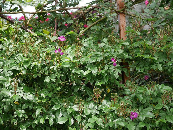 ブルーランブラー(ツルバラ)の花が少し咲いた。2019年-2.jpg