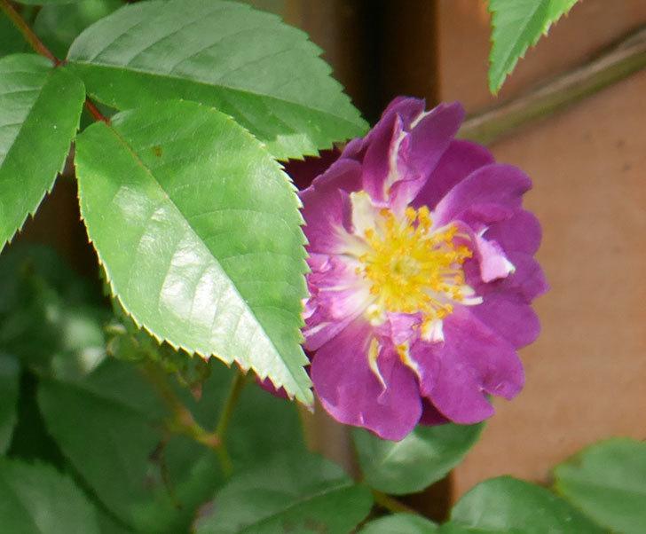 ブルーランブラー(ツルバラ)の花が少し咲いた。2019年-3.jpg