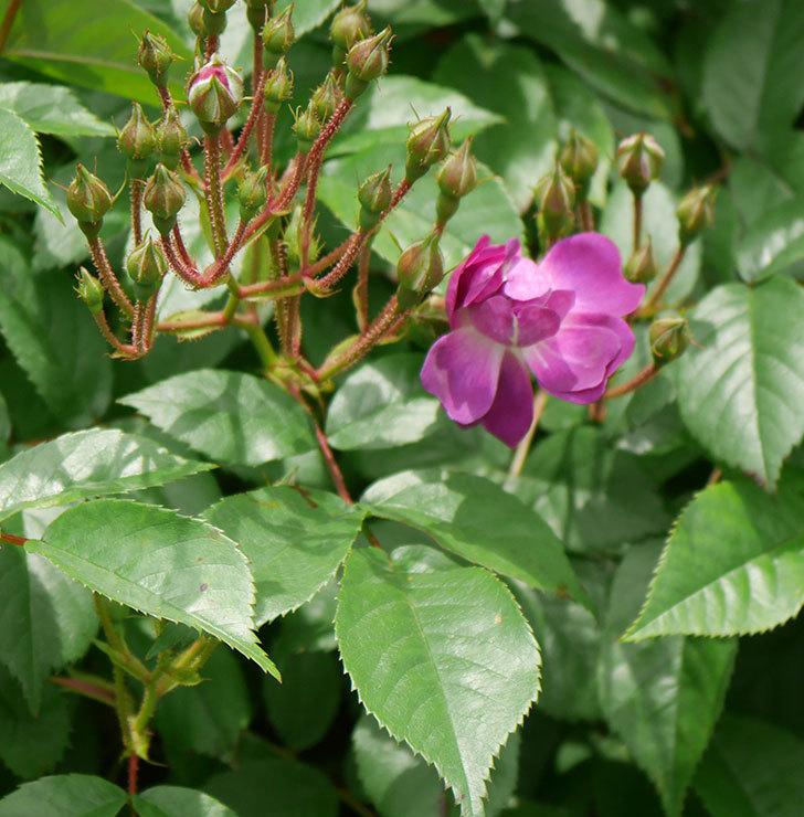 ブルーランブラー(ツルバラ)の花が少し咲いた。2019年-5.jpg