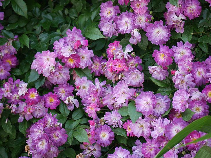 ブルーランブラー(ツルバラ)の花が満開になった。2018年-10.jpg