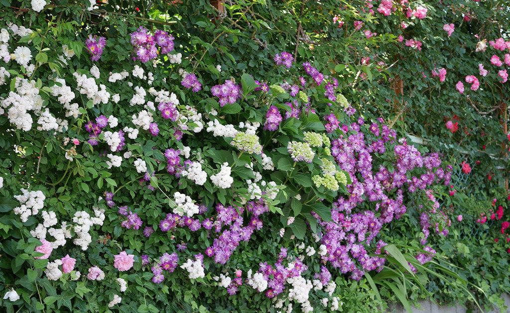 ブルーランブラー(ツルバラ)の花が満開になった。2018年-12.jpg