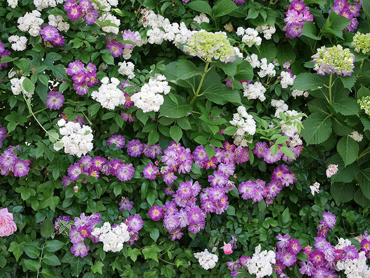ブルーランブラー(ツルバラ)の花が満開になった。2018年-13.jpg