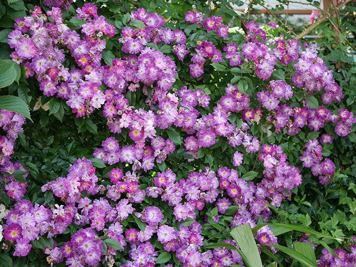 ブルーランブラー(ツルバラ)の花が満開になった。2018年-15.jpg