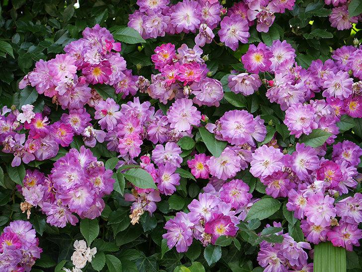 ブルーランブラー(ツルバラ)の花が満開になった。2018年-16.jpg