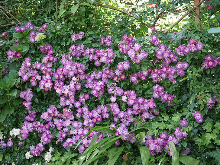 ブルーランブラー(ツルバラ)の花が満開になった。2018年-17.jpg