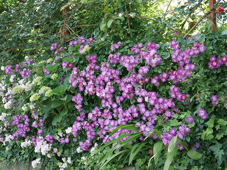 ブルーランブラー(ツルバラ)の花が満開になった。2018年-18.jpg