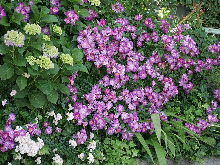 ブルーランブラー(ツルバラ)の花が満開になった。2018年-2.jpg