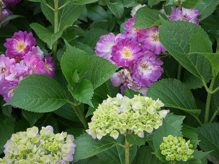 ブルーランブラー(ツルバラ)の花が満開になった。2018年-4.jpg