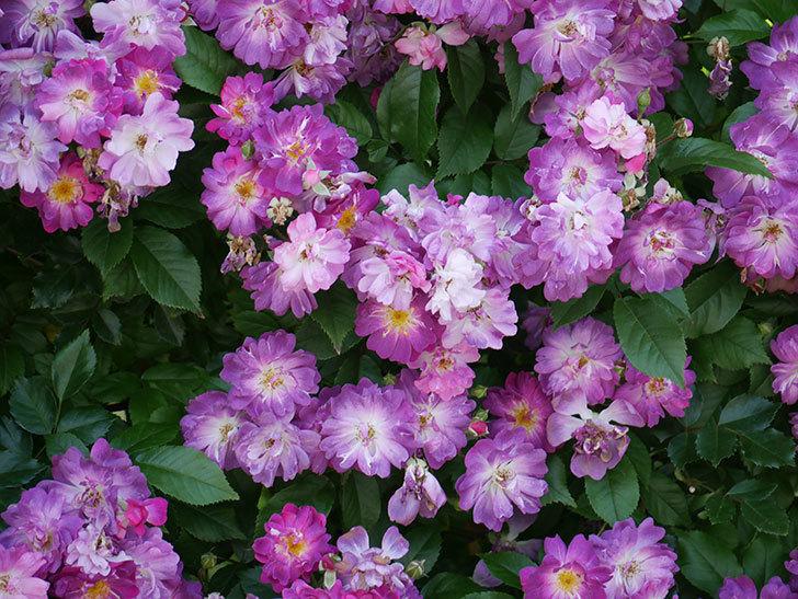 ブルーランブラー(ツルバラ)の花が満開になった。2018年-6.jpg