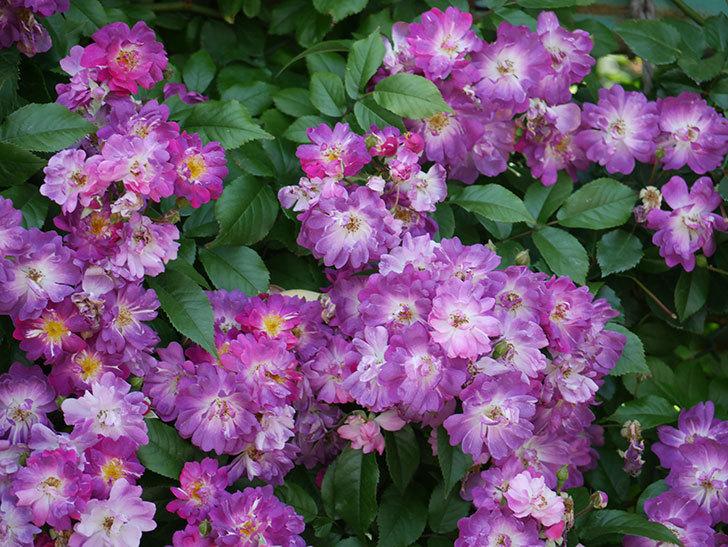 ブルーランブラー(ツルバラ)の花が満開になった。2018年-7.jpg