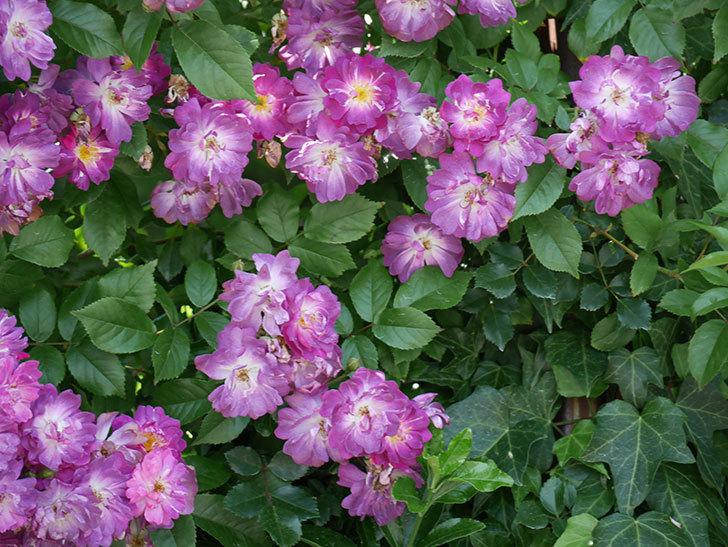 ブルーランブラー(ツルバラ)の花が満開になった。2018年-8.jpg