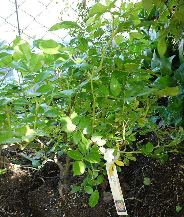 ブルーランブラー(ツルバラ)の開花株を地植えした。2016年-10.jpg