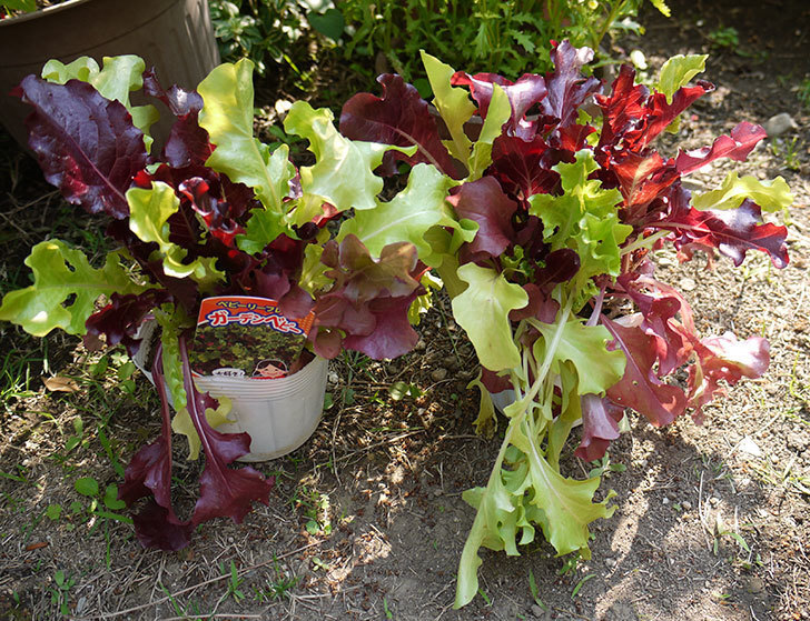 ブルーランブラー(ツルバラ)の開花株を地植えした。2016年-11.jpg