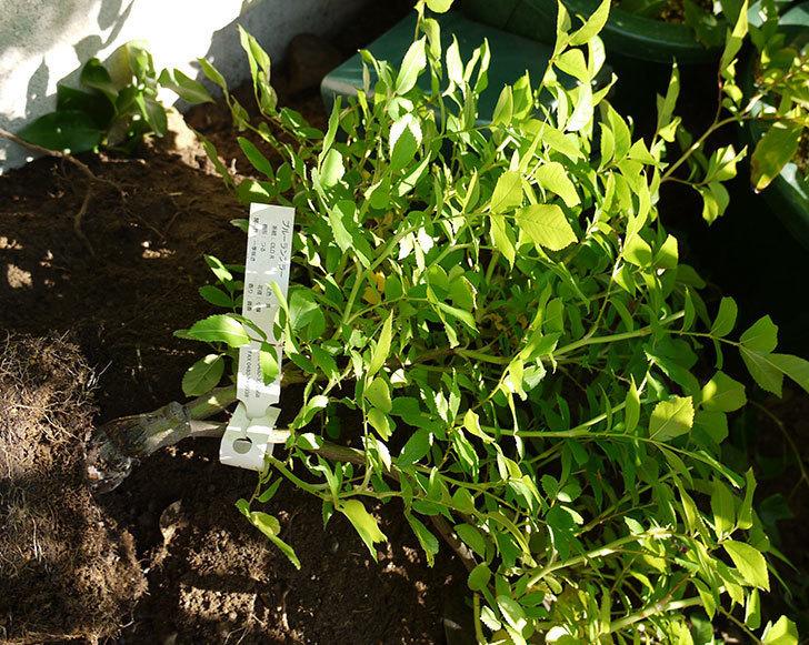 ブルーランブラー(ツルバラ)の開花株を地植えした。2016年-6.jpg