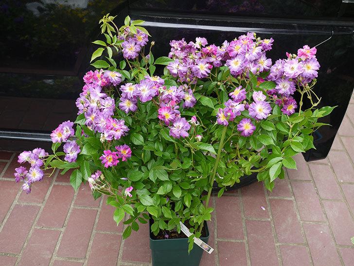 ブルーランブラー(ツルバラ)の開花株を楽天のバラの家で買った。2016年-1.jpg