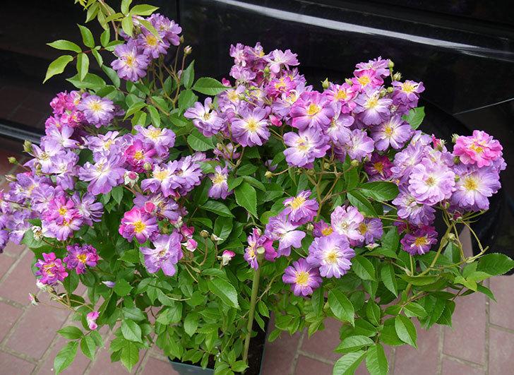 ブルーランブラー(ツルバラ)の開花株を楽天のバラの家で買った。2016年-2.jpg