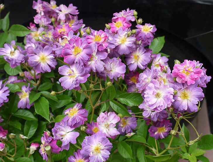 ブルーランブラー(ツルバラ)の開花株を楽天のバラの家で買った。2016年-3.jpg