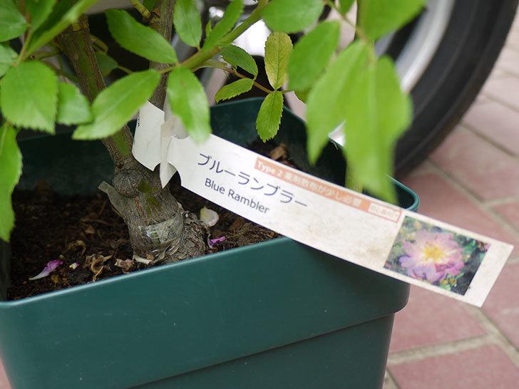 ブルーランブラー(ツルバラ)の開花株を楽天のバラの家で買った。2016年-5.jpg